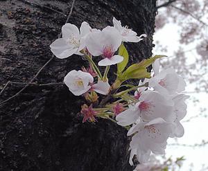 sakura3600.jpg